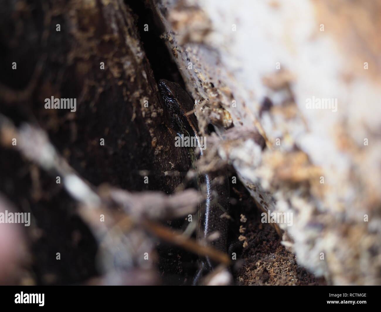 Rainbow skink in rotting tree - Stock Image
