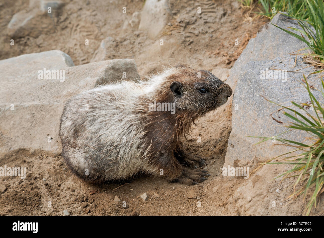 WA15768-00...WASHINGTON - A hoary marmot relaxing on the loose soil of the Golden Gate Trail in the Paradise area of Mount Rainier National Park. - Stock Image
