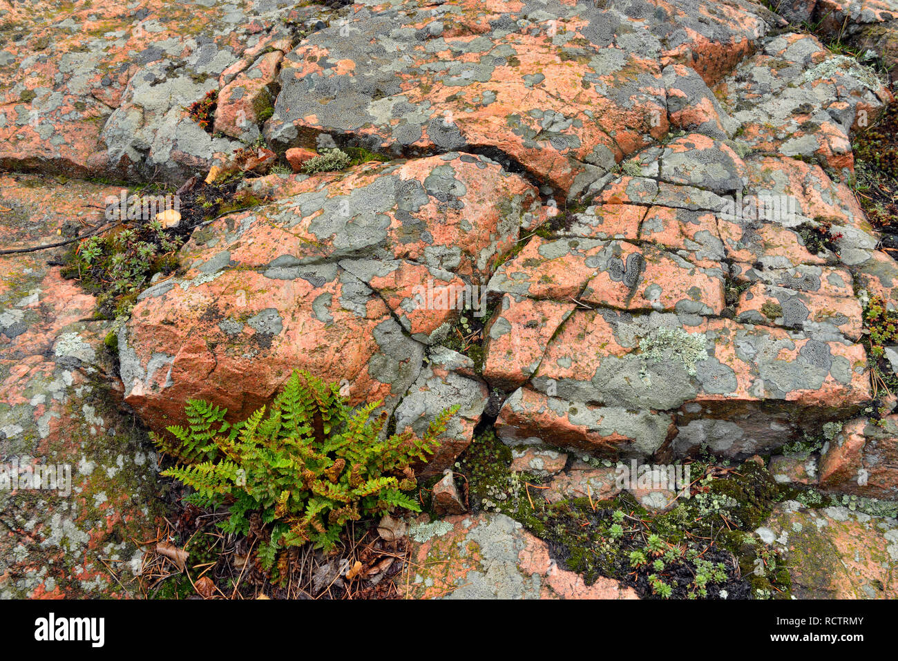 Precambrian shield granite with an orange igneous dyke, lichens and a clump of ferns, Yellowknife, Northwest Territories, Canada - Stock Image