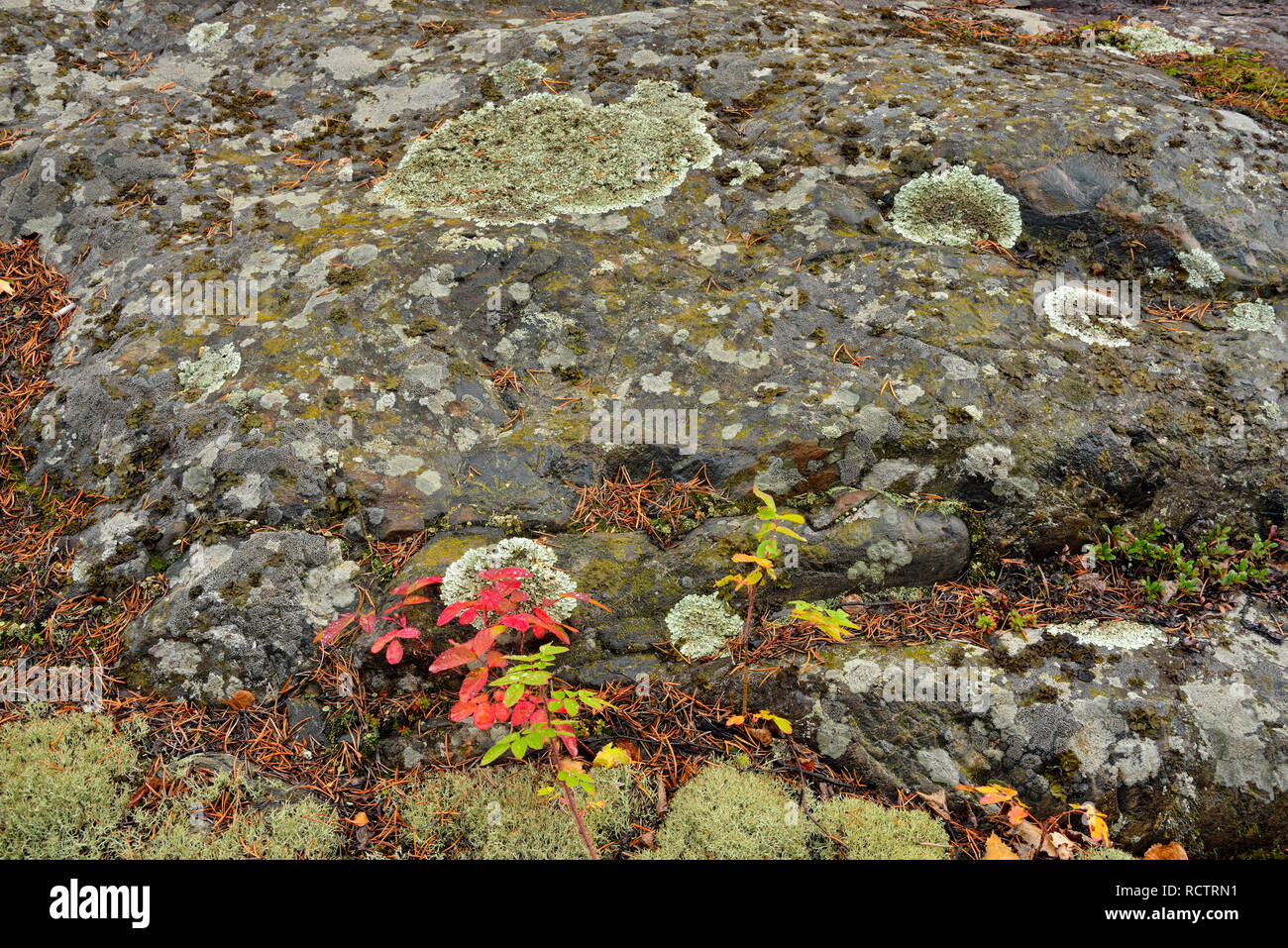 Precambrian shield granite with lichens and wild rose, Yellowknife, Northwest Territories, Canada - Stock Image