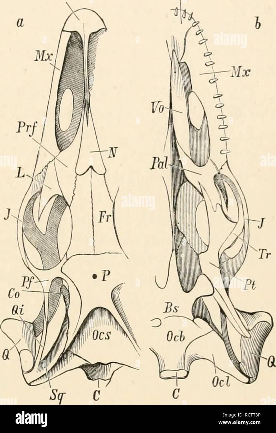 Skuli Stock Photos Images Alamy Snake Skeleton Diagram Elementary Text Book Of Zoology T1ik Vertebrre