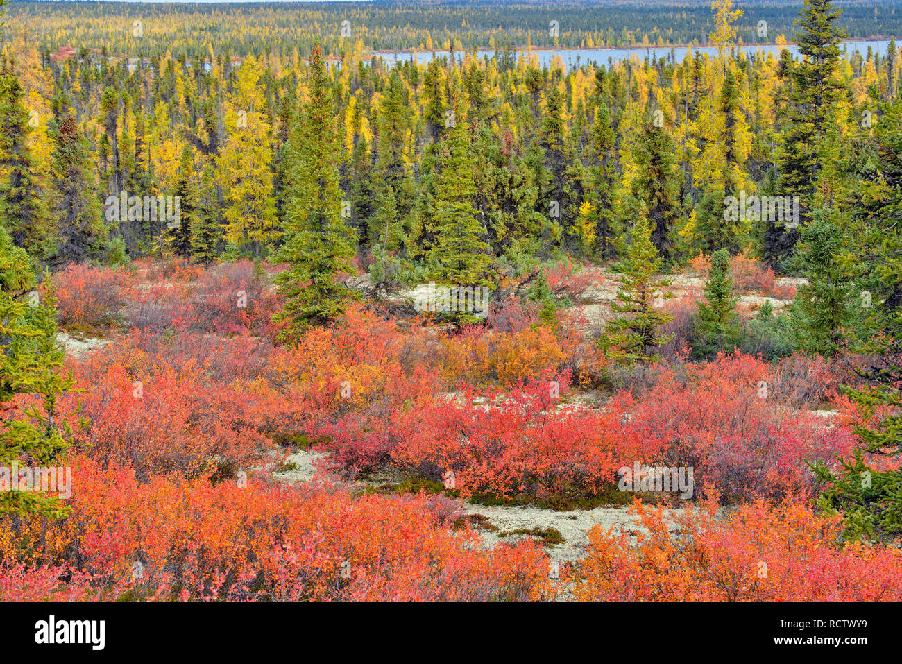 Boreal woodland (Barrenlands) with black spruce, dwarf birch and arctic blueberry in autumn, Arctic Haven Lodge, Ennadai Lake, Nunavut, Canada - Stock Image