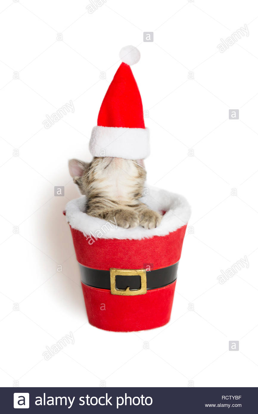 ffb06b1bcb24d Kitten head covered with a santa hat sitting inside a fake santa suit,  white background