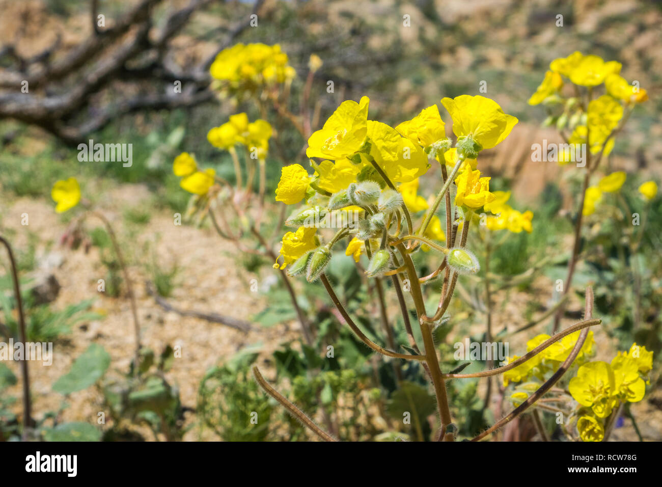 Yellow cups (Chylismia brevipes) blooming in Joshua Tree National Park, California - Stock Image