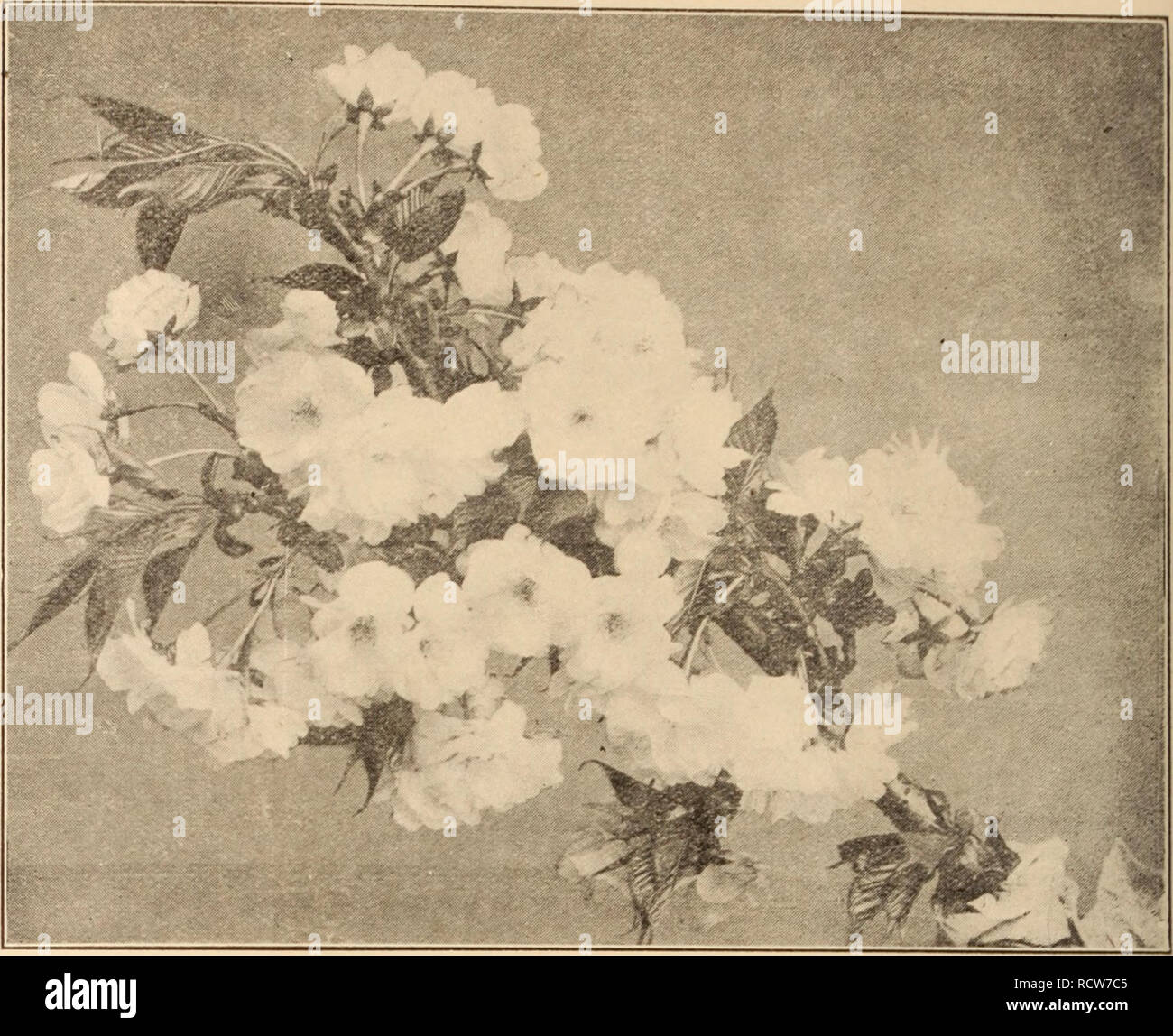 Descriptive Catalogue Of Flowering Ornamental Trees Shrubs