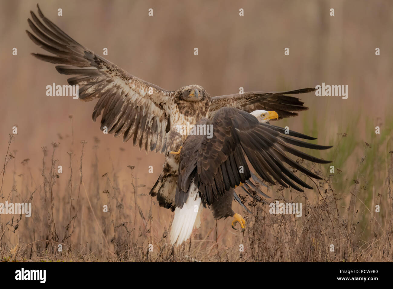 Two Bald Eagles (Haliaeetus leucocephalus) battle over territory and food in the Pacific Northwest - Stock Image
