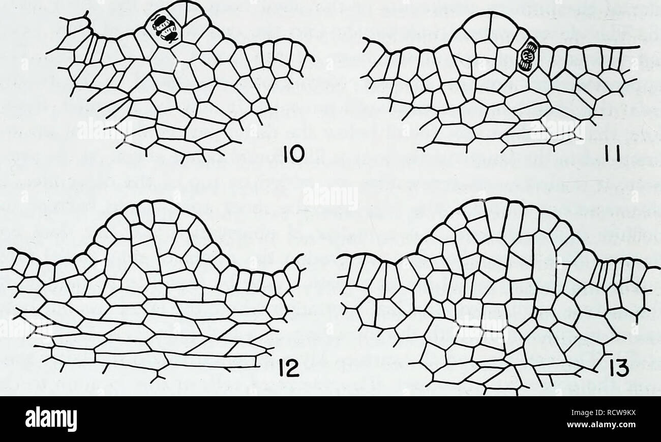 . The developmental anatomy of Isoetes. Isoetes; Botany. 28 THE DEVELOPMENTAL ANATOMY OF IsoeteS. Figs. 10, 11, 12, and 13. Apexes of mature plants of 7. howellii as seen in longitudinal sections. Figs. 10 and 11. Apexes showing periclinal divisions in the superficial layer of the apex. X 400. Figs. 12 and 13. Apexes of larger plants than those of figs. 10 and 11, showing an increase in number or in width of cell files toward the summit as an expression of lateral expansion in the summit region. X 350. such derivatives might produce new cells both vertically and horizon- tally in the shoot tip - Stock Image