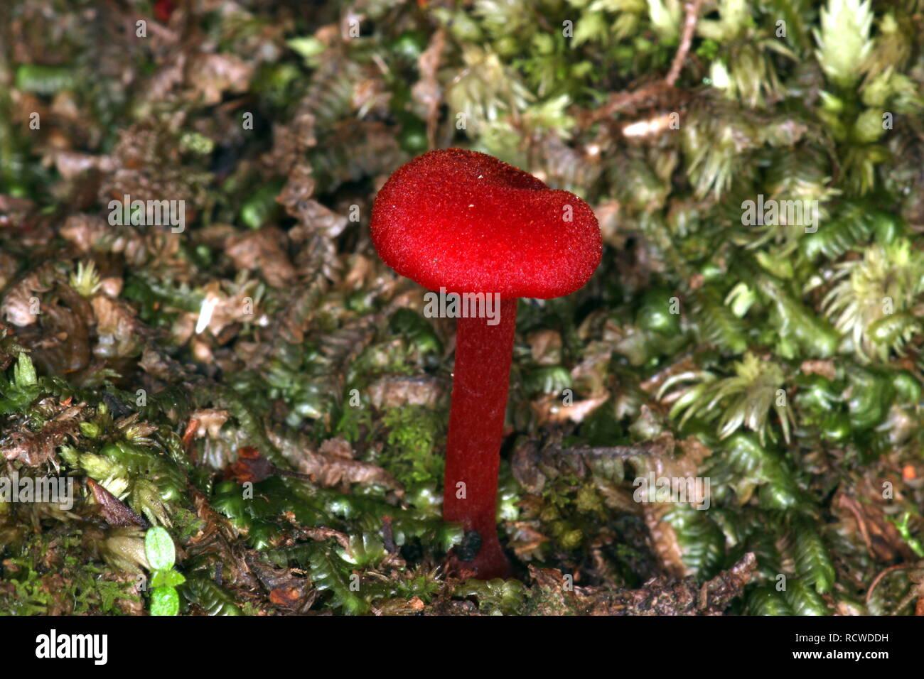 Red mushroom - Stock Image