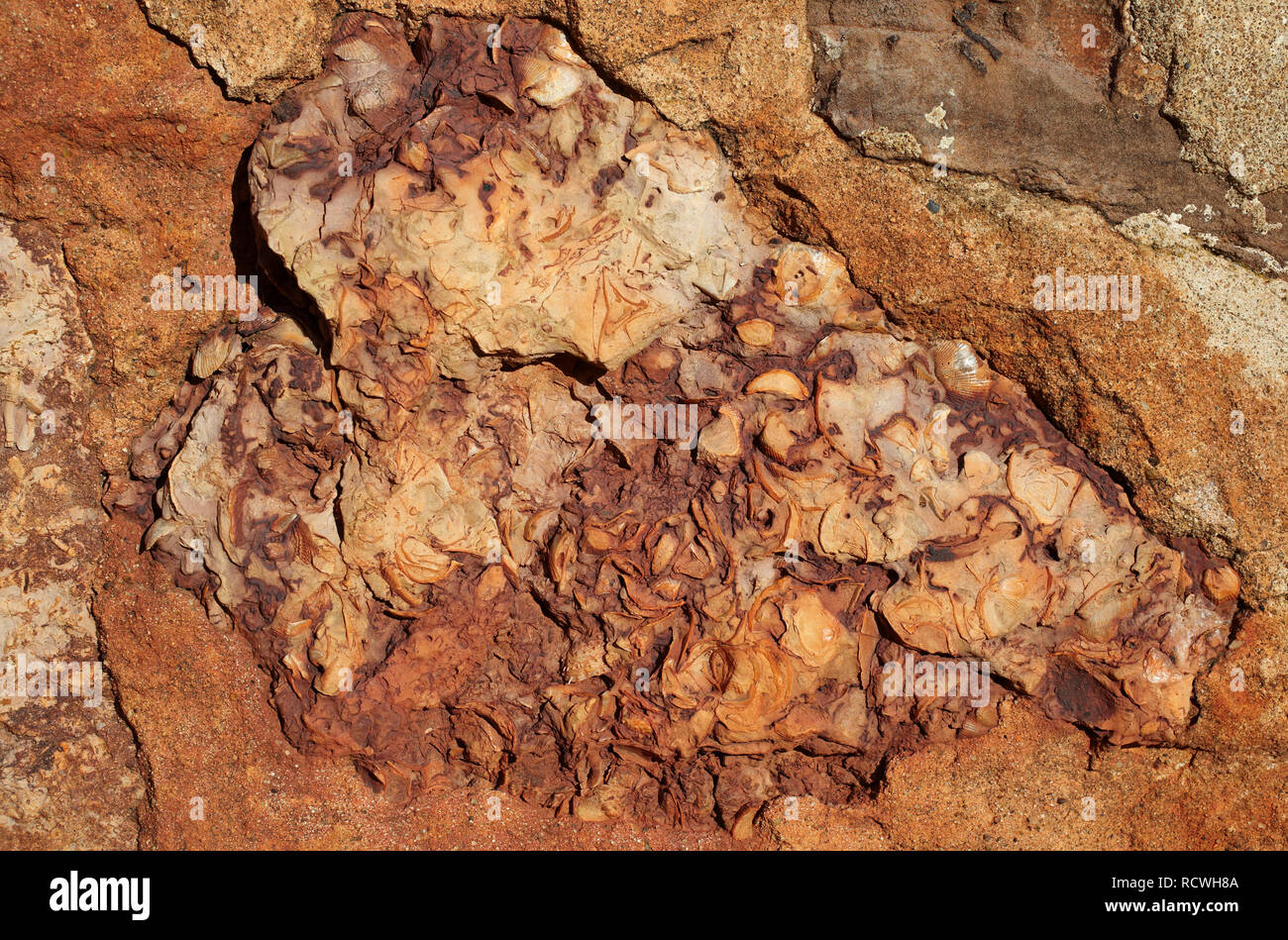 Image patch of original wall of 14-th century with bricks of shell rocks, background texture close up - Stock Image