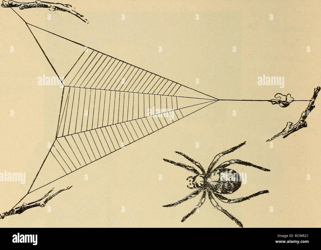 . Elementary zoology. Zoology. 238 ELEMENTARY ZOOLOGY a good field for independent observation and study by the student.. Fi-G. 102.—The triangle spider, Hyptiotes sp. (California), with its web; the spider rests on the taut guy-line, with a loop of the line held between its fore and hind legs; when an insect gets into the web the spider loosens the hold of its hind feet on the guy-line, thus allowing the web to spring forward sharply and further entangle the prey. (From Jenkins and Kellogg.). Please note that these images are extracted from scanned page images that may have been digitally enh - Stock Image