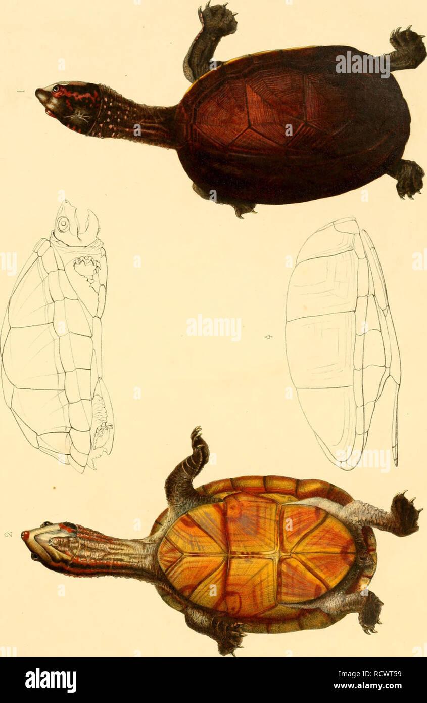 """. Description des reptiles nouveaux ou imparfaitement connus de la collection du Muséum d'histoire naturelle et remarques sur la classification et les caractères des reptiles. Muséum national dU+2019histoire naturelle (France); Reptiles; Reptiles. > X. % ^ 25 cû^î s o s 5=j fâi P-i fe o CD ^ P-. ^ q ^d 1 t> £ '3 1 CD g > 1=1 ' CD £ z O c/} -c co â3 eu. t/3 O pq pj p  m CD CJ) 3= pi £j t-J > â """"TIj 13 CD o g o cq '1 P=J 03 cri z; ctî Fd CXI C_3 w E-> -*l vC O te S >. Please note that these images are extracted from scanned page images that may have been digital Stock Photo"""