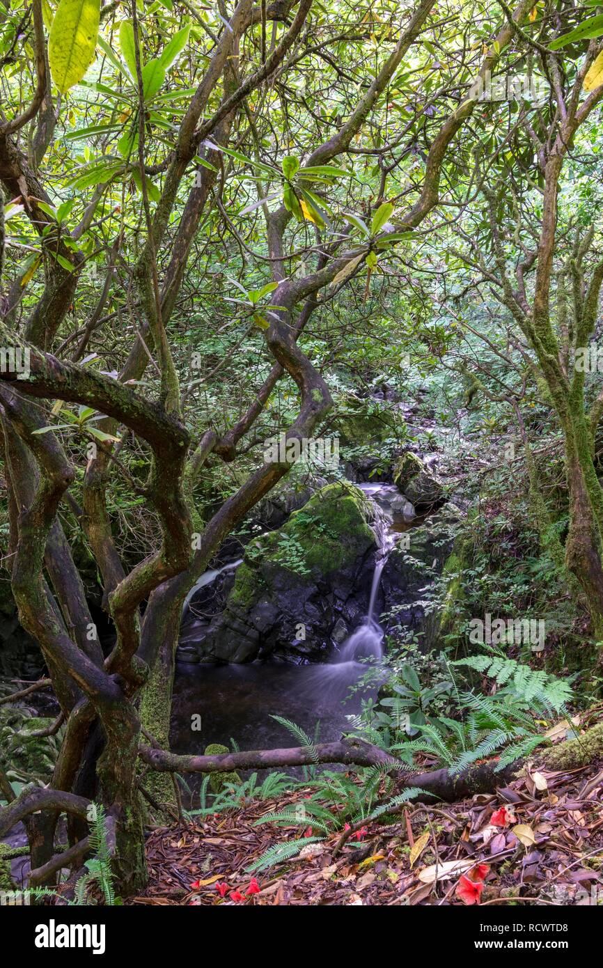Rhododendron and Waterfall, Crarae Garden (Himalayan Garden), Inveraray, Scotland, Great Britain - Stock Image