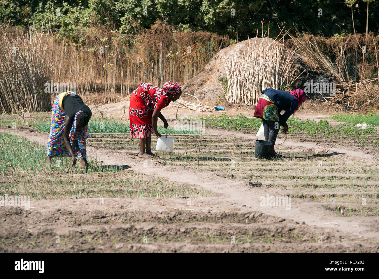 Indigenous Jola women tend their garden in the village of Berending, The Gambia, West Africa. - Stock Image