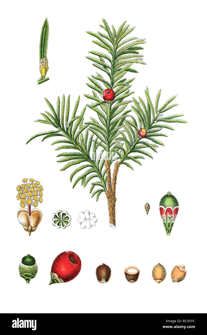 Common yew tree (Taxus baccata), medicinal plant, useful plant, chromolithograph, 1876 - Stock Image