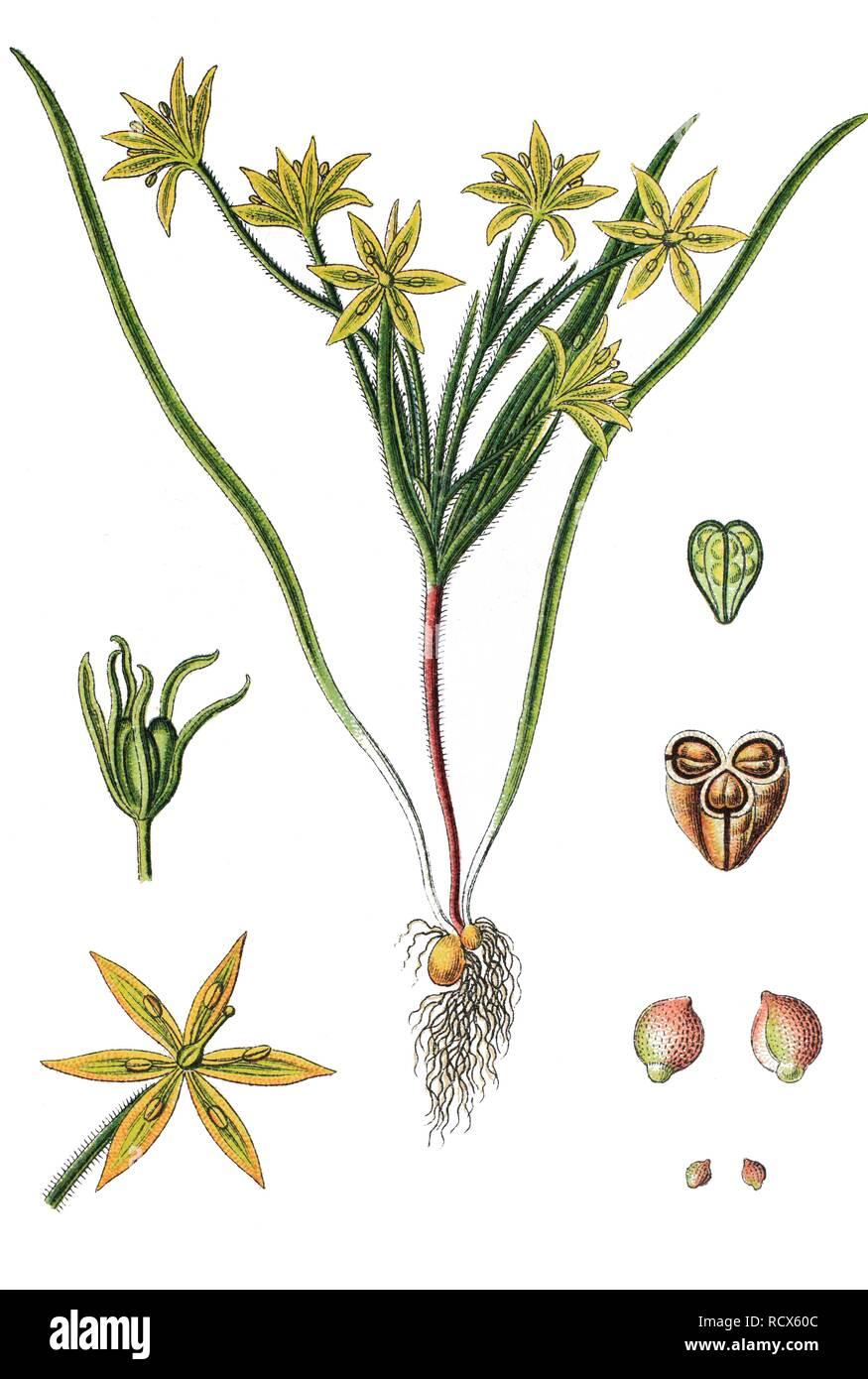 Field Gagea (Gagea villosa), medicinal plant, useful plant, chromolithograph, 1876 Stock Photo