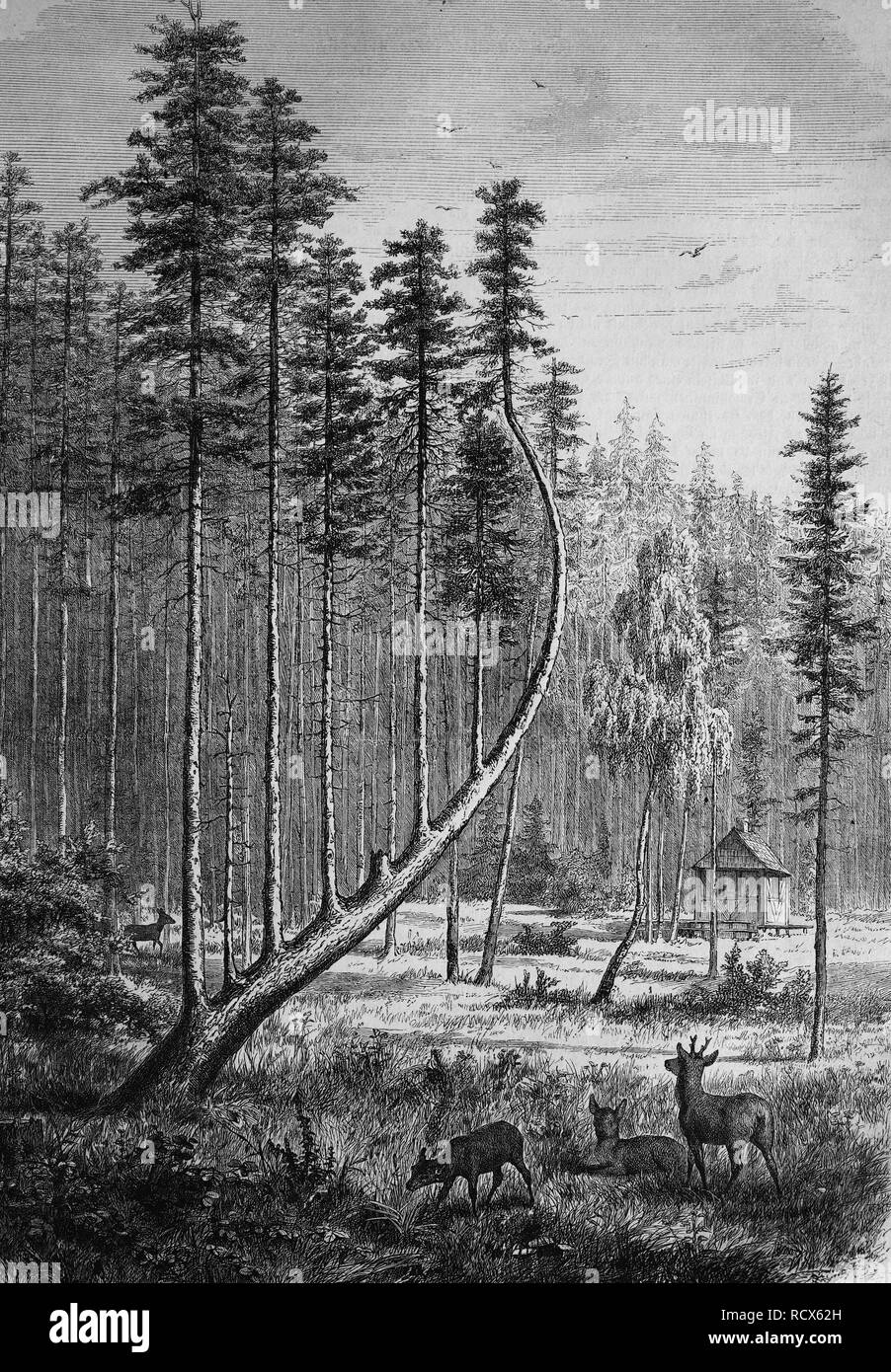 Sommerau Harp, spruce with a rare growth reminiscent of a harp, popular destination and object for artistic representations - Stock Image