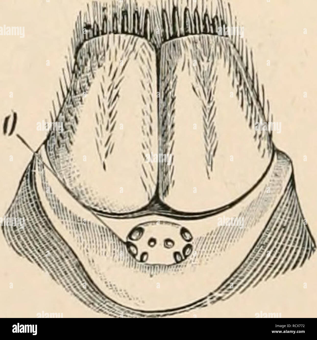""". Elementary text-book of zoology. Zoology. different spiders (after Lebert). a, Eprira ; //, Tegfimrin ; c, Doloiitriln; <1, Sal- ticns. The alimentary canal (tig. 400) lungs; F, lamella? of the lungs; bemns beneath the upper lip with an St, Sf, stigmata; Oc, ovary; Sir, """" , spinning papilla?. ascending pliaryngeal portion ot oesophagus, into which a saccular pha- ryngeal gland opens (salivary gland). The narrow oesophagus, before passing into the midgut or intestine, is dilated to form a suctorial stomach, which is furnished with powerful muscles arising from the dorsal part of the cephal - Stock Image"""