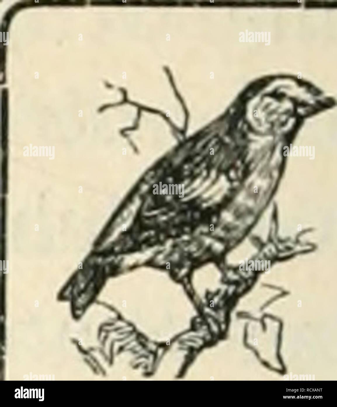. Der Ornithologische Beobachter. Birds; Birds. Vogelschutz. Protection des oiseaux.. Zur Abnahme der Störche in der Schweiz. Von Dr. //. Fischer-Si)/wart. Unsern Störchen droht ein neues Unheil durch die Aviatik. Als der Aviatiker Favre in Zofingen seine Flugübungen machte, flog er auch in der Nähe von Brittnau vorbei. Das Storchen- paar dieser ältesten mir bekannten Storchenstation hatte schon seit einiger Zeit von seinem Neste Besitz genommen, kam aber beim Vorbeifliegen dieses rasselnden Riesenvogels in Aengste und beide Störche flogen hoch auf und verschwanden. Nach etwa 14 Tagen ka - Stock Image