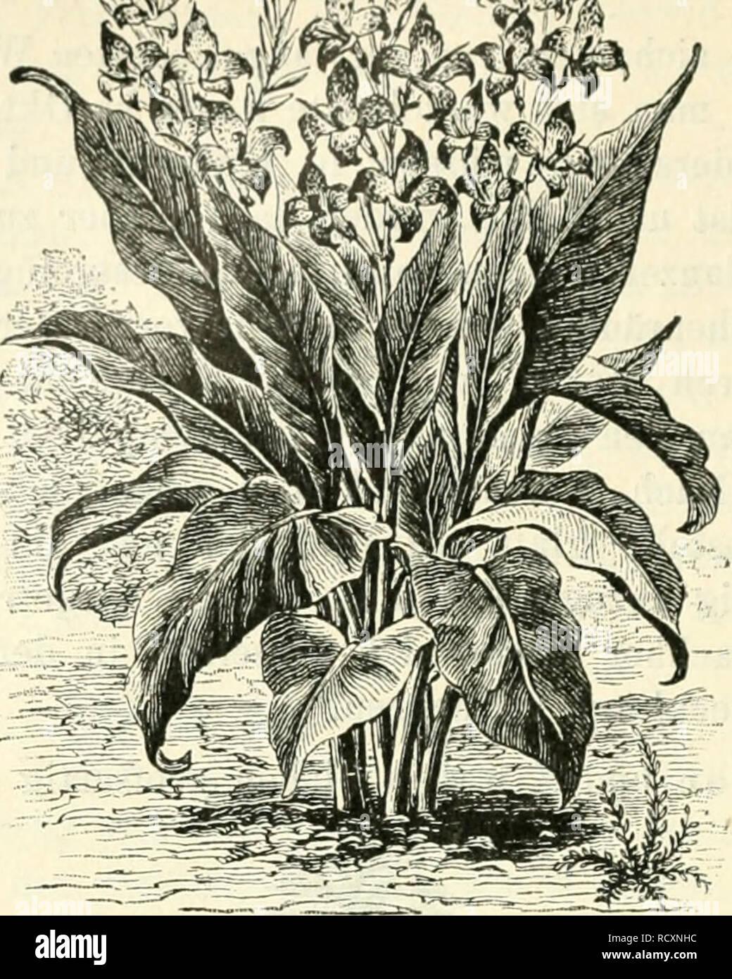 . Der Tropenpflanzer; zeitschrift fr tropische landwirtschaft. Tropical plants; Tropical crops. — 270. Abbild. 10. Canna, indisches Blumenrohr. Ferner gedeihen recht gut: Tropaeolum majus, Kapuziner- kresse, sowie Convolvulus, Winde, gleich an Ort und Stelle zu säen, bilden einen vorzüglichen Schmuck zur Bekleidung von Gittern, Drahtzäunen und Einfriedigungen, an denen sie sich sehr schnell emporranken. Von Sommerblumen seien empfohlen: Heliotrop, Verbenen, Helichrjsum (Strohblumen), Löwenmaul, Amarantus amabilis tricolor, Fuchsschwanz mit grün, rot, gelb schattierten Blättern; ferner Calliops Stock Photo