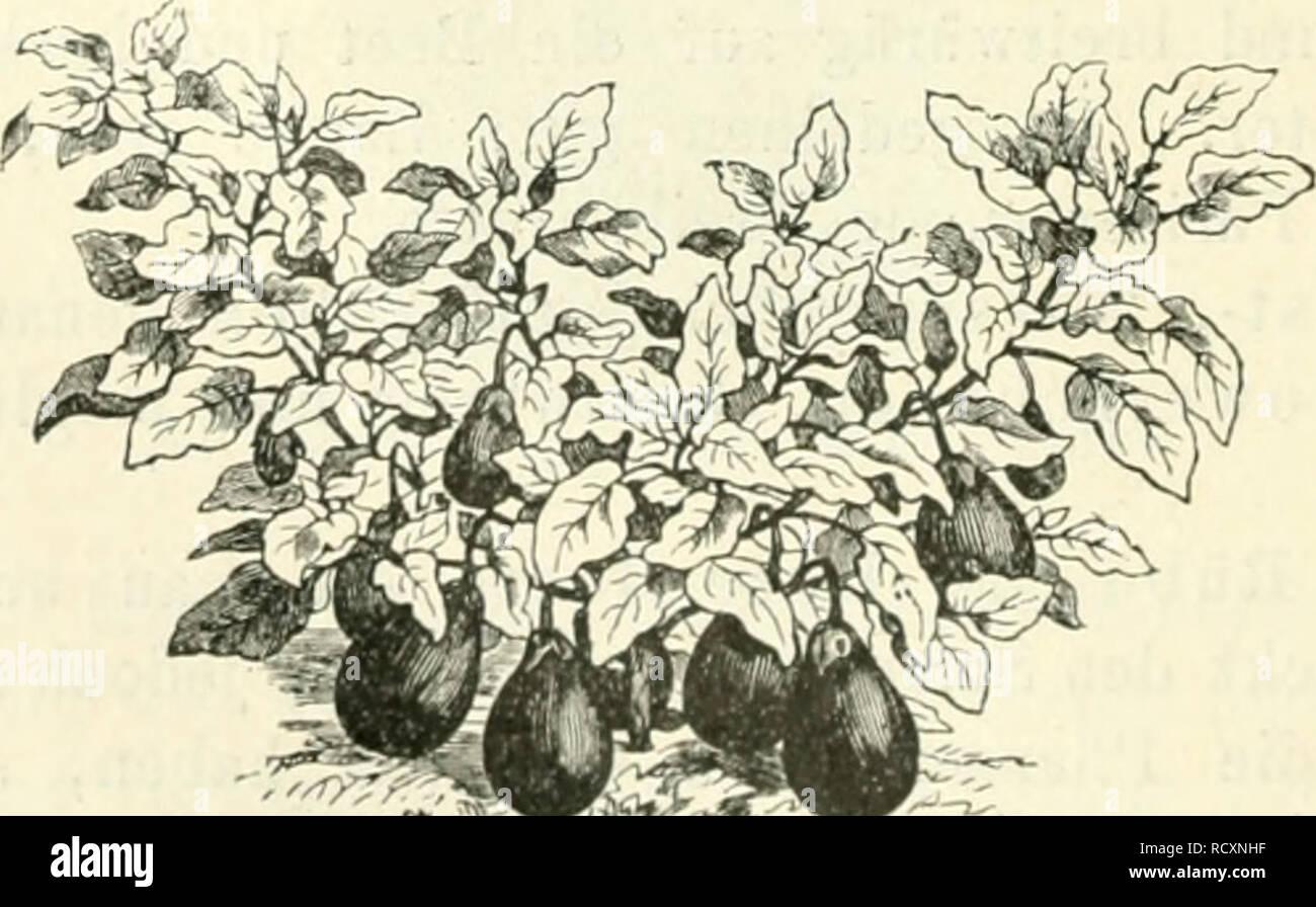 """. Der Tropenpflanzer; zeitschrift fr tropische landwirtschaft. Tropical plants; Tropical crops. Abbild. 6. Scbnittsellerie ^Suppengrün'"""". Eierfrüchte werden ausgesät und später auf 1 m Entfernung verpflanzt. ^ Sie können auch durch Stecklinge vermehrt w^erden. Das Innere der Frucht wird gewiegt und mit ebensolchem fein gewiegten Hühnerfleisch gemischt. Die beiden äufsereu Hälfteu der Frucht werden damit gefüllt und diese in Butter gebacken. So zubereitetfschmeckt sie wie Pasteten. Angebaut wurde die violette Eierfrucht.. Abbild 7. Eierfrucht. Spinat sät man Anfang und Ausgang der Regeuzei Stock Photo"""