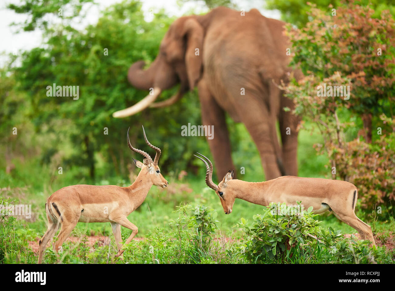 Impala squaring up in Kruger National Park - Stock Image