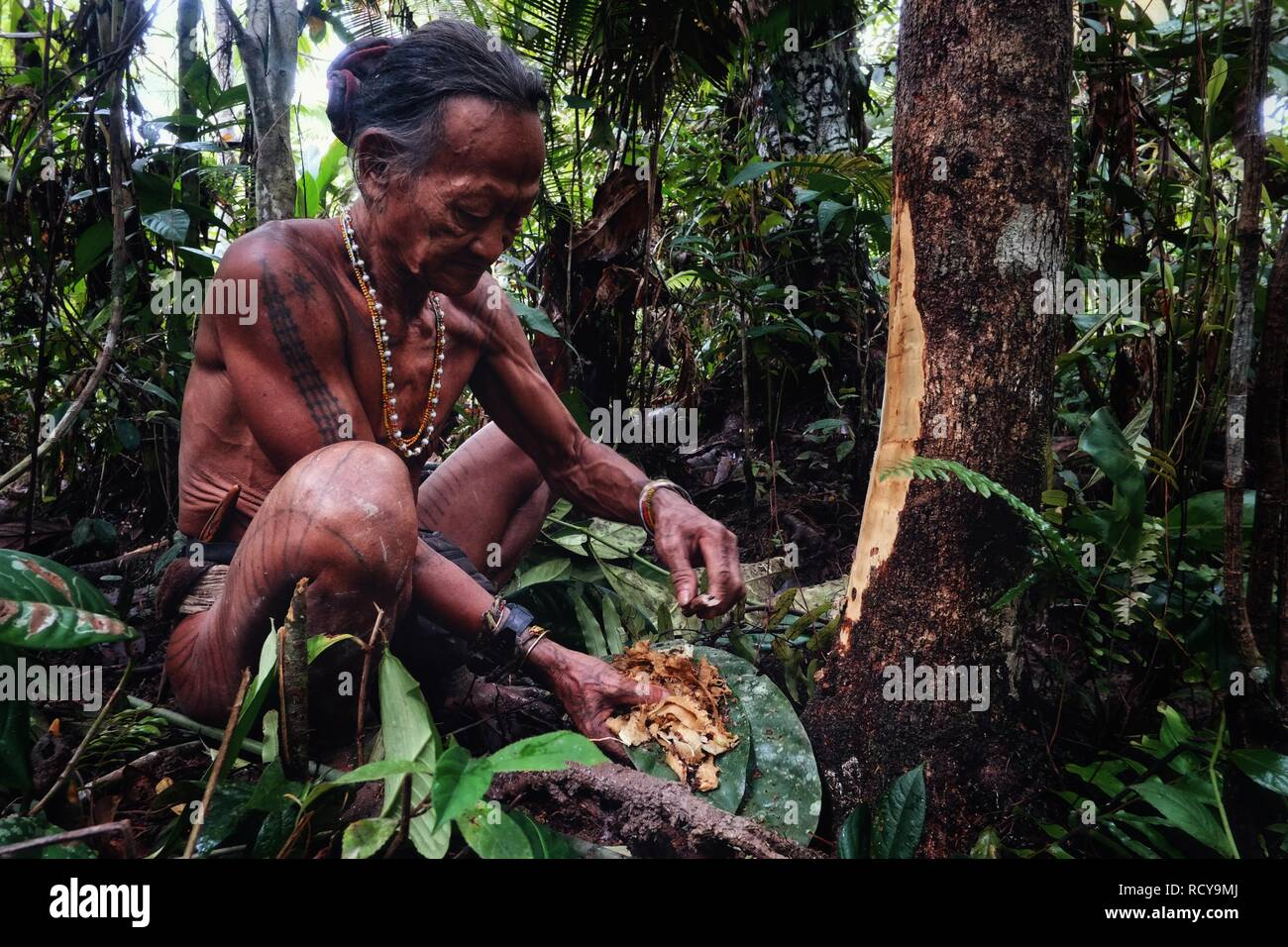Muara Siberut, Mentawai Islands / Indonesia - Aug 15 2017: Tribal elder Toikot collecting materials fruits and plants in the jungle - Stock Image