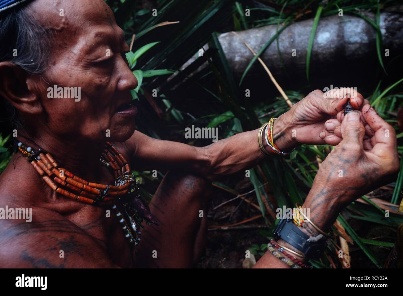 Muara Siberut, Mentawai Islands / Indonesia - Aug 15 2017: Tribal member Toikot collecting grubs from a fallen sago tree in the middle of the jungle - Stock Image