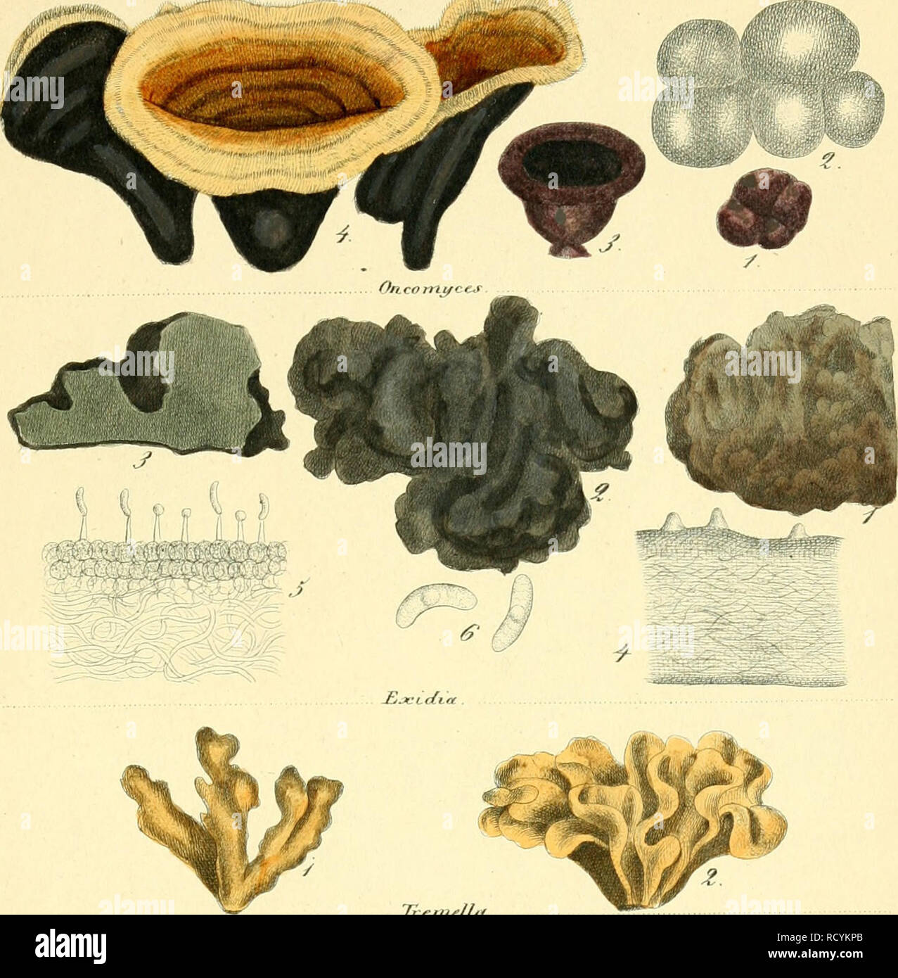 . Das System der Pilze. Durch Beschreibungen und Abbildungen erlutert. Fungi; genealogy. TahXI TfymeiLoinvxetesIlxosporae IfonosponcCei Tremeflei. Tieinella l^TiienouLjcetesExDsporae. fSpihpoi-itloi l)n(TTnvTotos. Please note that these images are extracted from scanned page images that may have been digitally enhanced for readability - coloration and appearance of these illustrations may not perfectly resemble the original work.. Nees von Esenbeck, Theodor Friedrich Ludwig, 1787-1837; Henry, A. (Aim), 1801-1875; Bail, Theodor, 1833-1922. Bonn, Verlag des Lithographischen Instituts der Rheini - Stock Image