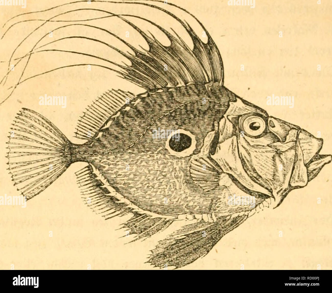 . Danmarks fiske. Fishes. 2r8. m <Zt, Retens ^iffcn CaSeus Faber liinn.). ht et i og for ftg fcto rimeligt, at benne ^ifP, [om er temmelig almin* belig omfring bet fpbligc Snglanb, (faa at man cnbog l)ar ©rempier paa, at flere enb CO Snbioiber erc tagne i et ©arn ^aa een ©ang), fom fecé paa SifVetoroct i Conbon ncrjten Ijelc ©ommercn, og fom fi;ne6 at lege oeb ben en* gelf?e S:^amborg. ©fter ^lod) (Fulle bc l^elgos lanbfFe gifPere cnbog t)aoe en fa'regen SSencrune(fe for ben, namlig Silbc* Fongc. 3eg l)ar berfor troet, at bet iffe oilbe occre ooerftubigt, at giøre opmcrrffom paa ben. - Stock Image