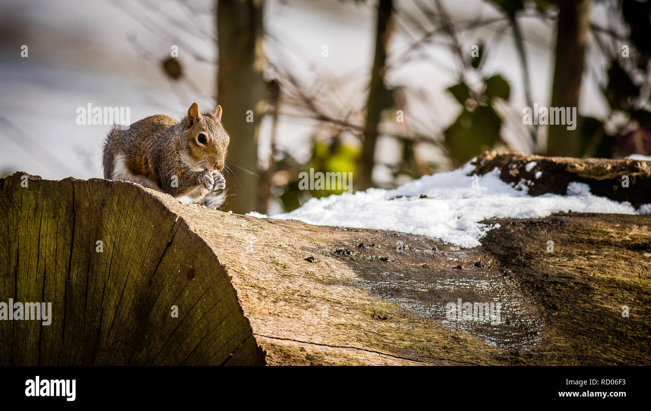 Grey squirrel sits on a snow covered log eating seeds - Stock Image