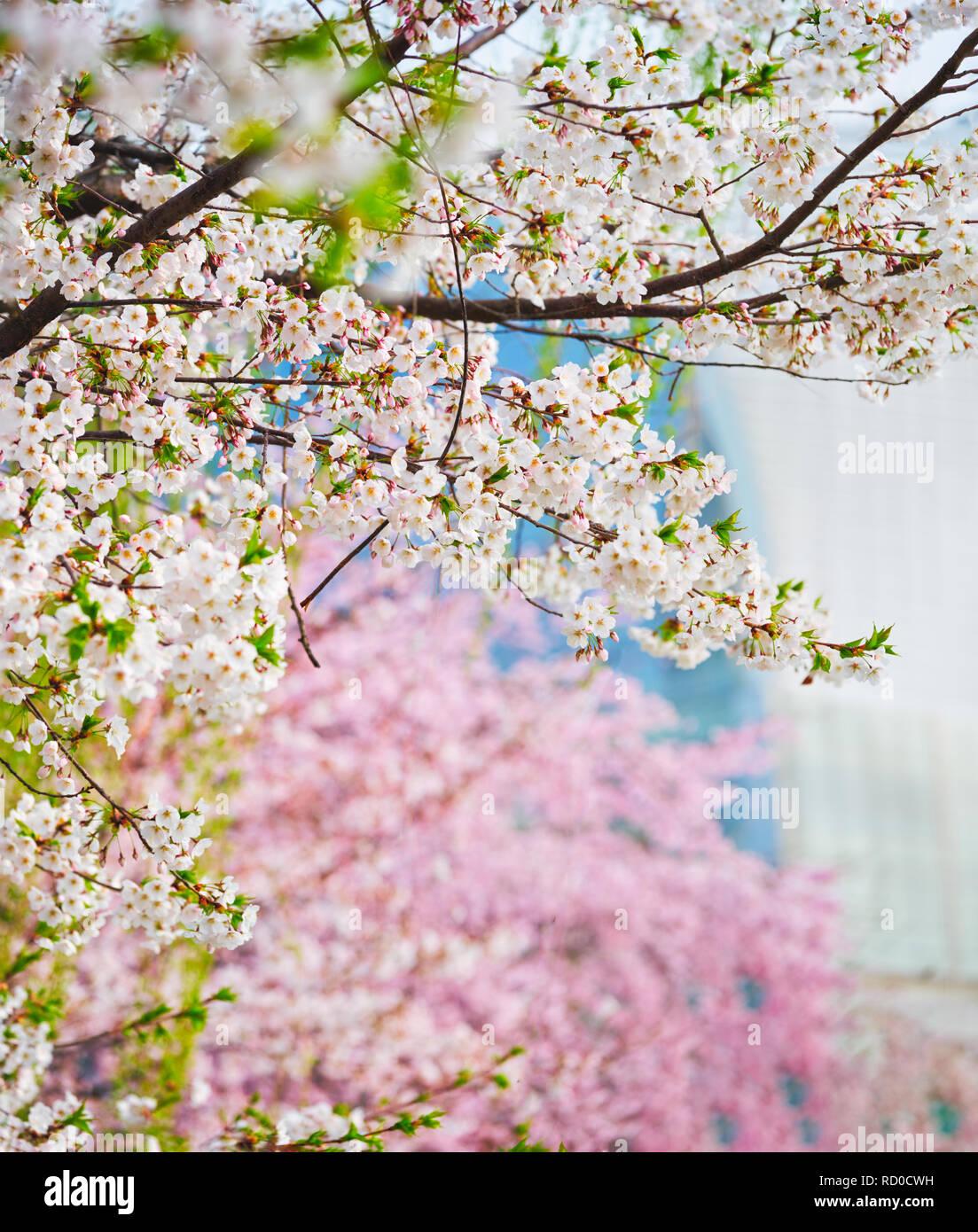 Blooming sakura cherry blossom - Stock Image