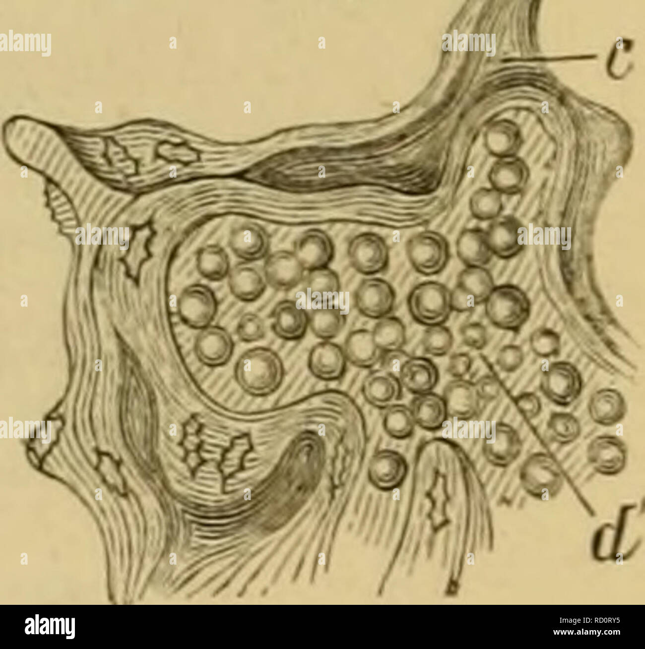 . Elementary text-book of zoology, general part and special part: protozoa to insecta. Animals. )i. Fig. 32.—Sectionthrougli *he roocof a tooth (after KoUiker). C, cement; J, intei'globular spaces D, dentine with dentinal tubes. of bones; and a primary was distinguished from a second- ary method of bone develop- ment. In reality the two processes resemble each other closely. For in the latter case, in conjunction with a precedent deposition of lime, and partial destruction or reduction of the cartilage, there is a new formation of a soft connective tissue-substance (osteogenic substance) from  - Stock Image