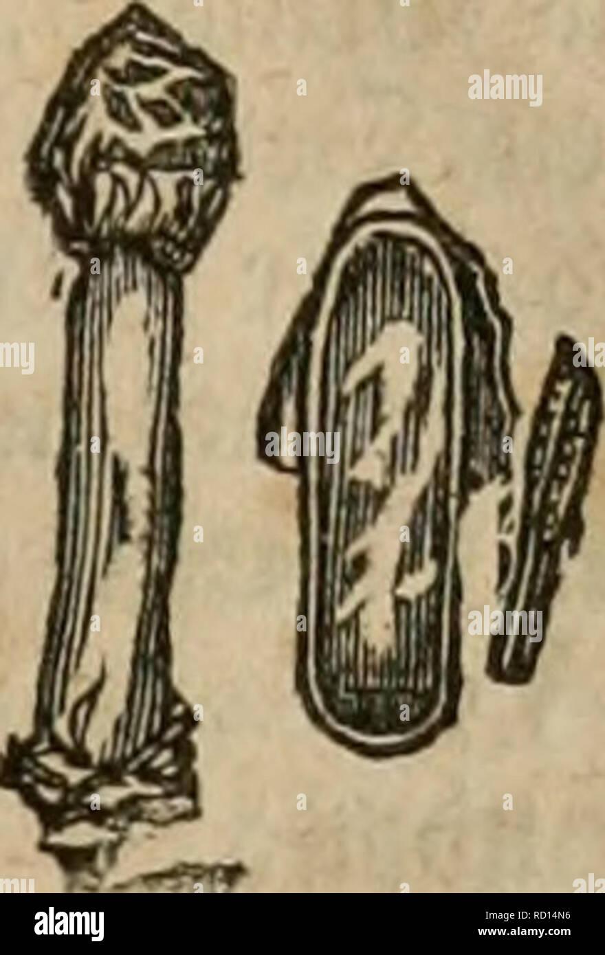 . Das grosse illustrirte Kräuter-Buch : eine ausführliche Beschreibung aller Pflanzen, mit genauer Augabe ihres Gebrauchs, Nutzens und ihrer Wirkung in der Arzneikunde. Medicinal plants; Materia medica, Vegetable; Herbs. ^utmor^el CMorchella), ©attuncj bei* T^mnKie Rüttlnge; mit fugetaTtigcm ober runblid)ein, im SÄittelvunfte ^on einem |^;i|e gc[tü^ten§aupt[vud)t'bobeu; in ue^fövmige, gcllige ©treifen abgetl)eitter, ben §ut bebecfenber ©c^taud); ^aut, t)of)tem ^^^ujje. Strien: ®ie gemeine §. (M. esculenta), iin= gefd'^r pU^oä), iueid^, lveij5, gtatt, mit eirunbem, braunem, täng§geftreif= tem § Stock Photo