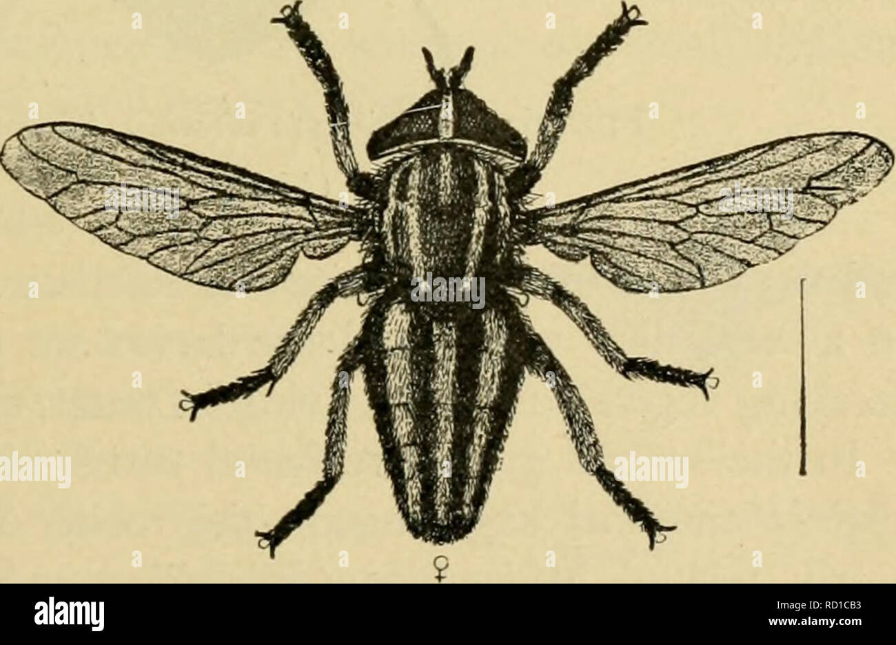 ". Elementary entomology. Entomology. Fig. 361. Horse-fly {Tahanus atratics) n, lan'a ; fi, pupa ; c, adult, (.fter Riley) SHORf-HORNEl) FLIES {BRACHYCEKA) In this section the antennae are composed of from three to five segments, the famihes being divided into three groups according to the structure of the  V/ / antennae, and being fur- ther distinguished by w^^ ^^-""•••""""?=grr^^^)^.^=r:^^^grr^^^^ the wing-vcnation. .3 X. , —..-^jMBirfiii* . . ^ ev In the first group the third segment of the an- tenna is clearly ringed, showing that it is made up of several segments grown togeth - Stock Image"