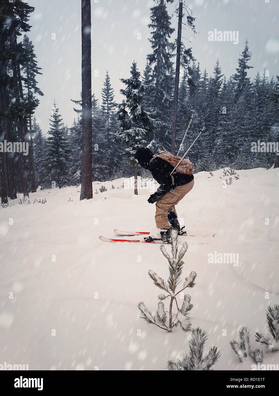 Skier skiing downhill during snowy day in high mountains between fir forest trees. Fast freeride winter sport. - Stock Image