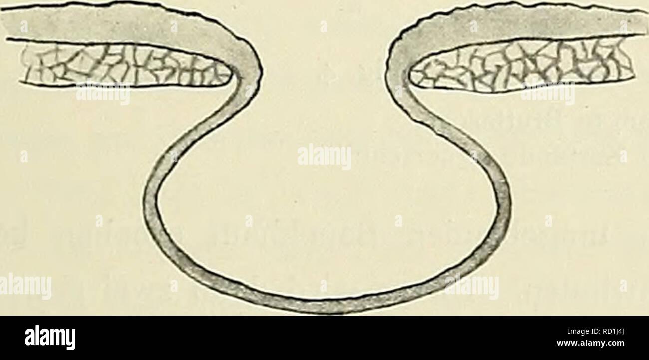 """. Denkschriften der Medicinisch-Naturwissenschaftlichen Gesellschaft zu Jena. Die Entwickelung des Mamtnarapparates der Monotremen, Marsupialier und einiger Placentalier. 635 Ich möchte die Art der Deformationen, die die Bauchhautstücke betroffen haben, zunächst an der Hand einiger Schemata erläutern und dabei von Objecten mit völlig ausgebildeter Bruttasche ausgehen. Textfig. I und 2 stellen unter Beiseitelassung der Drüsenfelder und Mammardrüsen Querschnitte durch ein Incubatorium dar, das sich, wie etwa Object Y (No. 17 der Tabelle), im Stadium der """"höchsten Vollendung"""" (Klaatsch) befi Stock Photo"""