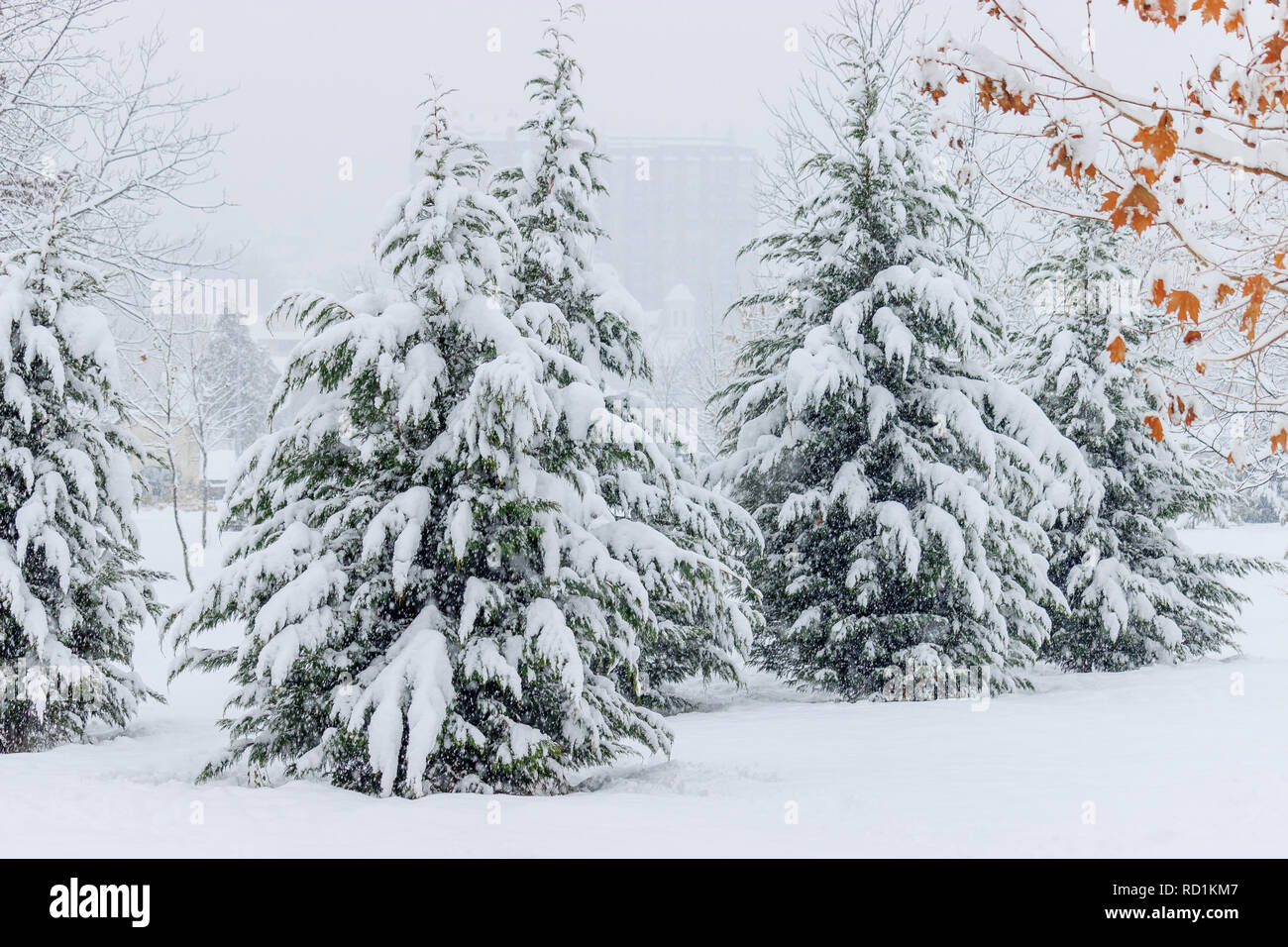 Winter landscape.Green spruces covered with snow, close up - Stock Image