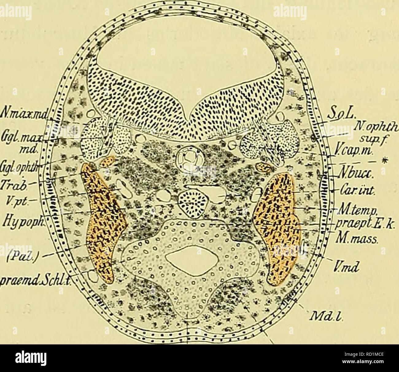 . Denkschriften der Medicinisch-Naturwissenschaftlichen Gesellschaft zu Jena. io68 Entwicklungsgeschichte des Kopfes und des Blutgefässsystems von Ceratodus forsten. 408 die bekannten Ansammlungen freier Mesodermzellen, welche in immer dichter werdendem Gefüge das Vor- knorpelgewebe der MECKEL'schen Knorpel bezw. der ganz rudimentären Pterygoidknorpel bilden. Dorsal von der zwischen den präpterygoiden Entodermleisten abgeplatteten dorsalen Darmwand erreicht der Schnitt gerade noch die birnförmige, abgeplattete Hypophyse und zwischen dieser und der Chorda dorsalis die Carotidenanastomose. Die p - Stock Image