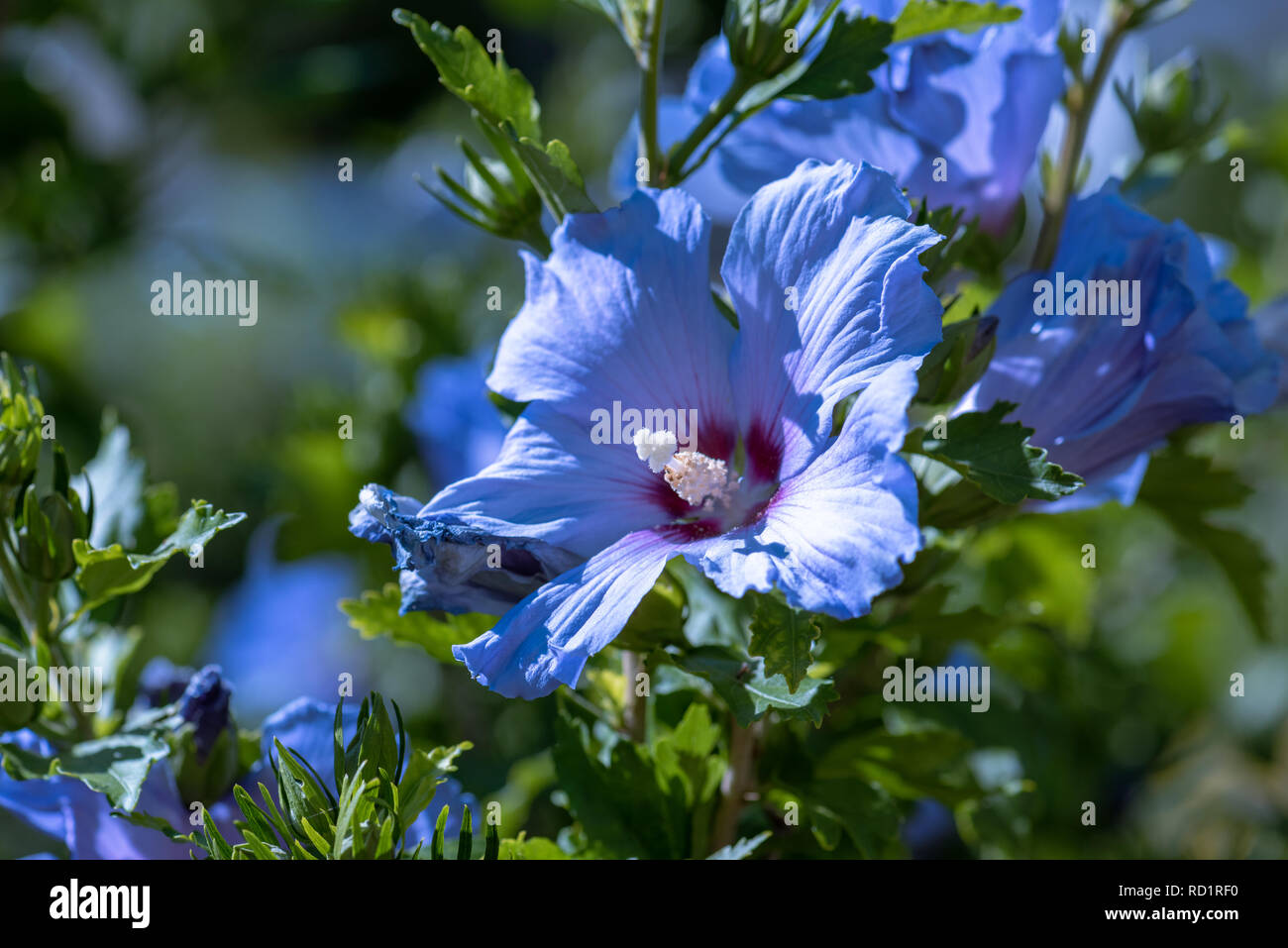 Color Outdoor Natural Floral Close Up Image Of Blue Purple Hibiscus