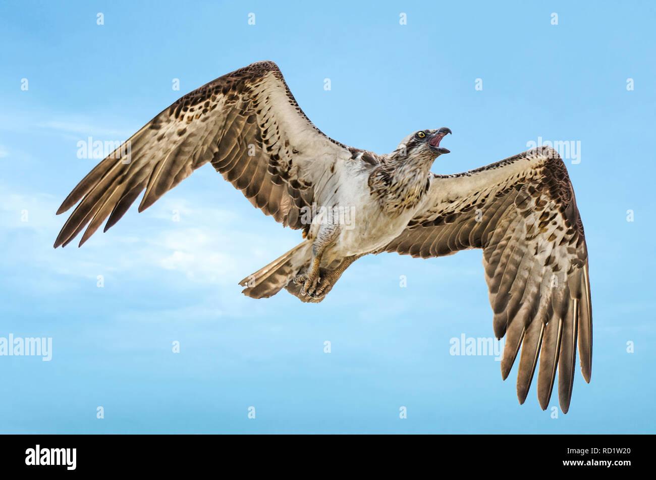 outlet winkel verkoop nieuw kopen verkoop usa online Eastern Osprey (Pandion cristatus) flying in the sky, Perth ...
