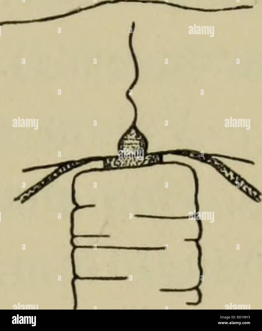 . Danmarks fauna; illustrerede haandbøger over den danske dyreverden... . 19 cyster (især hos Margeliderne). Maven er hyppigst flaskeformet, af meget forskellig Størrelse; i dens Sidevægge ligger Gonaderne (som hos enkelte For- mer kan strække sig et kort Stykke ud langs Radiærkanalerne). Gonaderne kan danne en sluttet Ring omkring Manubrium eller ved lodrette Stri- ber være delt i 4 interradiale eller 8 adradiale Dele (sjældnere er der 5 eller et andet Antal Gonader). Undertiden er Maven ikke fæstet direkte til Subumbrella, men til en fra dennes Midte udgaaende gelatinøs Udvæxt, der kaldes Ma Stock Photo