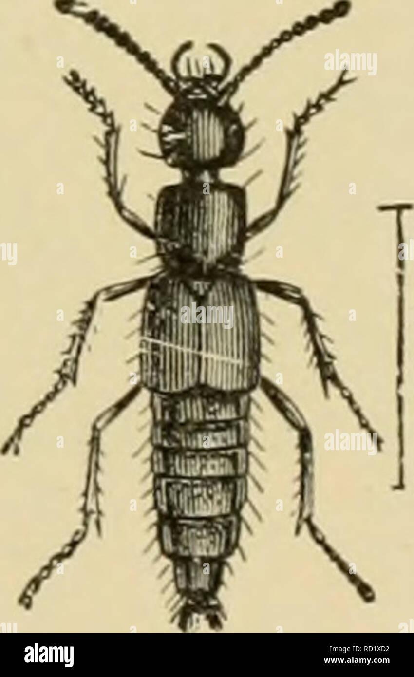 Elementary Entomology Entomology Fig 201 A Carrion Beetle