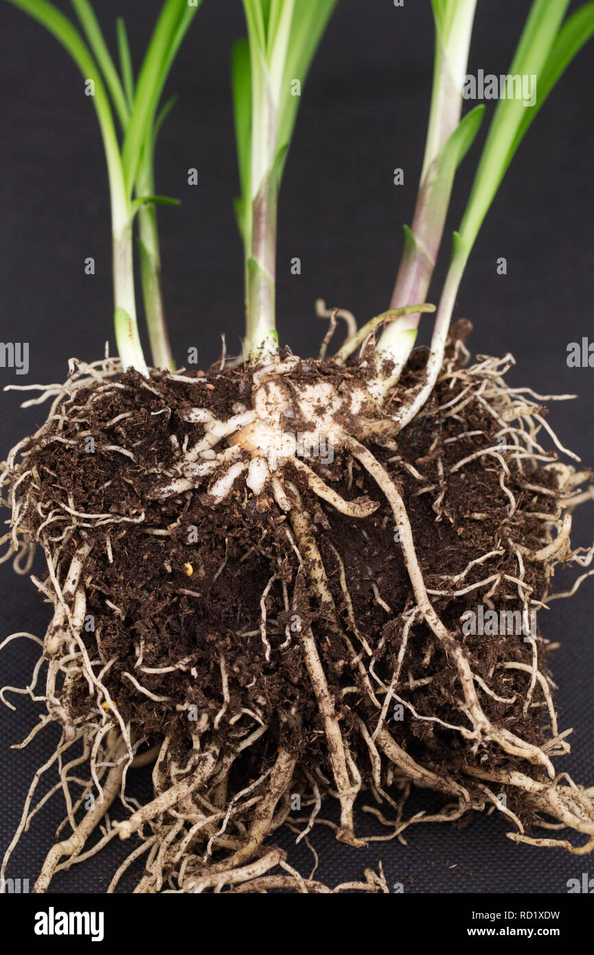 Agapanthus root system, cross section. - Stock Image