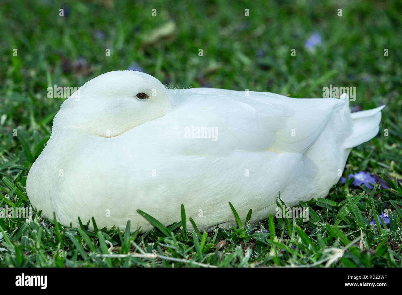 A domestic White Pekin, Pekin or Long Island Duck (Anas platyrhynchos domesticus) sitting on grass with head turned into feathers. - Stock Image