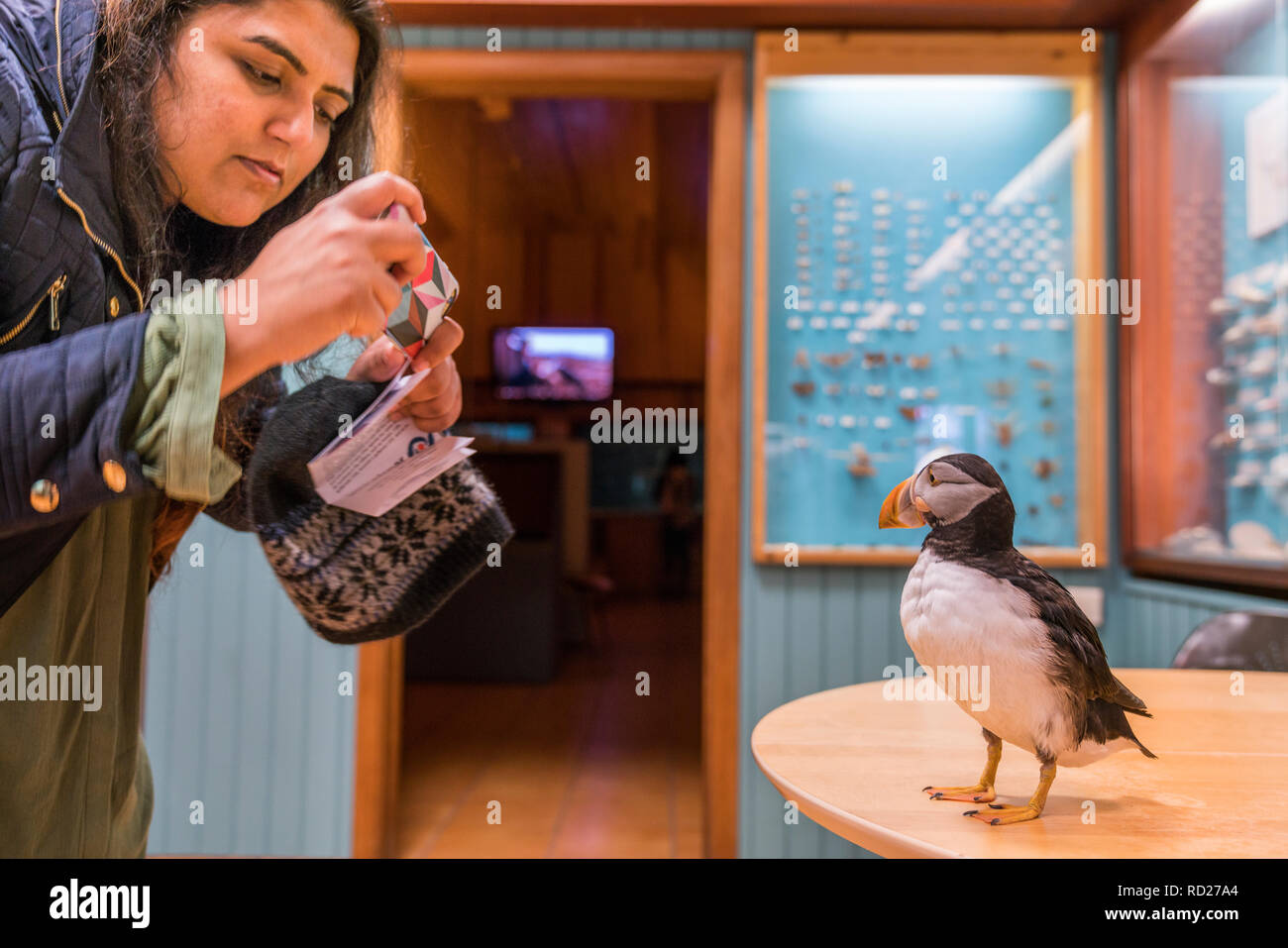 Puffin at Museum of National History, Heimaey, Westman Islands. Live Puffin, Fratercala arctica. - Stock Image