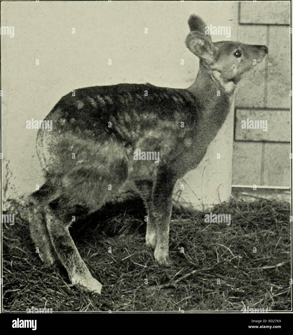 . The deer of all lands; a history of the family Cervidæ living and extinct. Deer; Deer, Fossil; Cervidae; Cervidae, Fossil. Himalayan Musk 313 numerous in the more remote valleys north of Kashmir, such as Tilel and Wardwan, but even in such districts it now appears to have become very scarce, although the game laws recently put in force in Kashmir territory may be doing something towards checking the diminution in its numbers. Musk-deer are solitary animals, generally going about alone, and it is seldom, if ever, that more than two adults are seen in company. Although they are chiefly nocturn - Stock Image