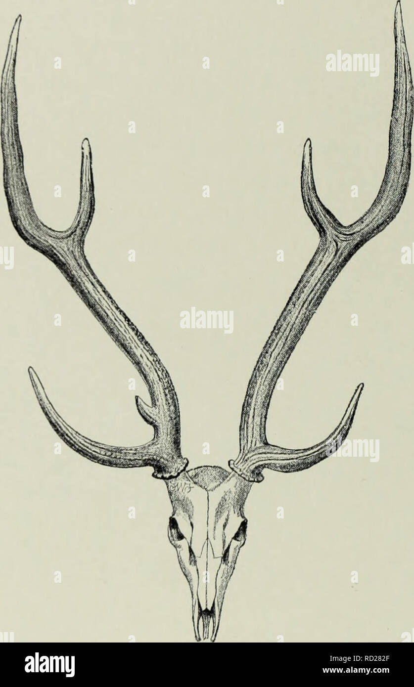 . The deer of all lands; a history of the family Cervidæ living and extinct. Deer; Deer, Fossil; Cervidae; Cervidae, Fossil. 18 2 Rusine Group the spotted coat and the length of the tail, both these having doubtless been inherited from the common early Pliocene ancestor. In the develop- ment of a trez-tine to the antlers, as well as in the tendency to lose the spots, and also in the black-bordered white caudal area, the sikas have departed from the ancestral type apparently retained by the chital.. Fic;. 49.—Skull and Antlers of Chital. From a specimen in the British Museum. (Rowland Ward, Rec - Stock Image