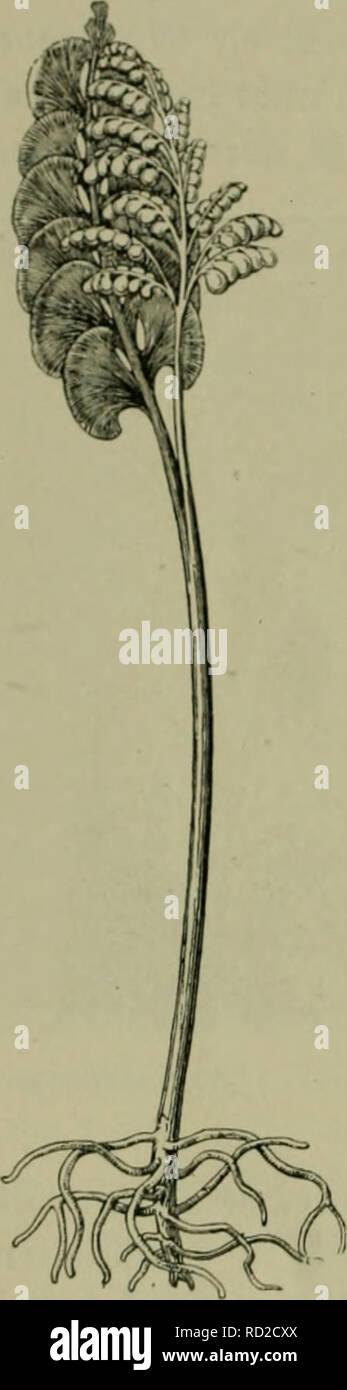 ". Das Leben der Pflanze. Plants; Plants; Plants; Phytogeography. 38 2)ic j^arnpflanjcn. SBa^re§ bnran tft, muffen neuere ^^oi^f^linigen entfrfieibcn. (5^5 uerlo^nte fid) ofjne^in, biefe§ ®emiidj'5 cincjcf)enber 311 burdjfürftijcn. Xenn c§ befitjtuicle anatomifdje33efonber= l^eiten unb foll ein befonbcr§ günftigeS Dbjett für ben 9lad)iüeiö ber reiatcttenbcn 5pia§s mauerbinbungen jiuifrficn ben ^-^ellen fein. Xa^u frf)cinen fid) ^-arnpflan^en ü6crt)aupt 511 eignen, geljürcn fie hod) 3U hcn ucr^ältni^inüifjig luenigen (^eiuäc^fen, in benen ber ^ragcr 23otanifcr Diemcc feine 5(uffc^en erregcnben "" - Stock Image"