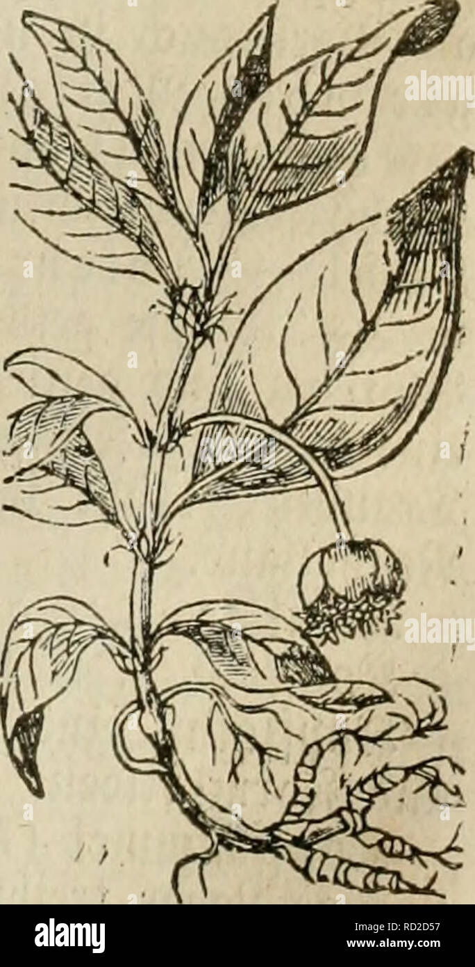 . Das grosse illustrirte Kräuter-Buch : eine ausführliche Beschreibung aller Pflanzen, mit genauer Augabe ihres Gebrauchs, Nutzens und ihrer Wirkung in der Arzneikunde. Medicinal plants; Materia medica, Vegetable; Herbs. loitfg«.. Please note that these images are extracted from scanned page images that may have been digitally enhanced for readability - coloration and appearance of these illustrations may not perfectly resemble the original work.. Mueller, Ferdinand von, 1825-1896. Ulm : J. Ebner Stock Photo