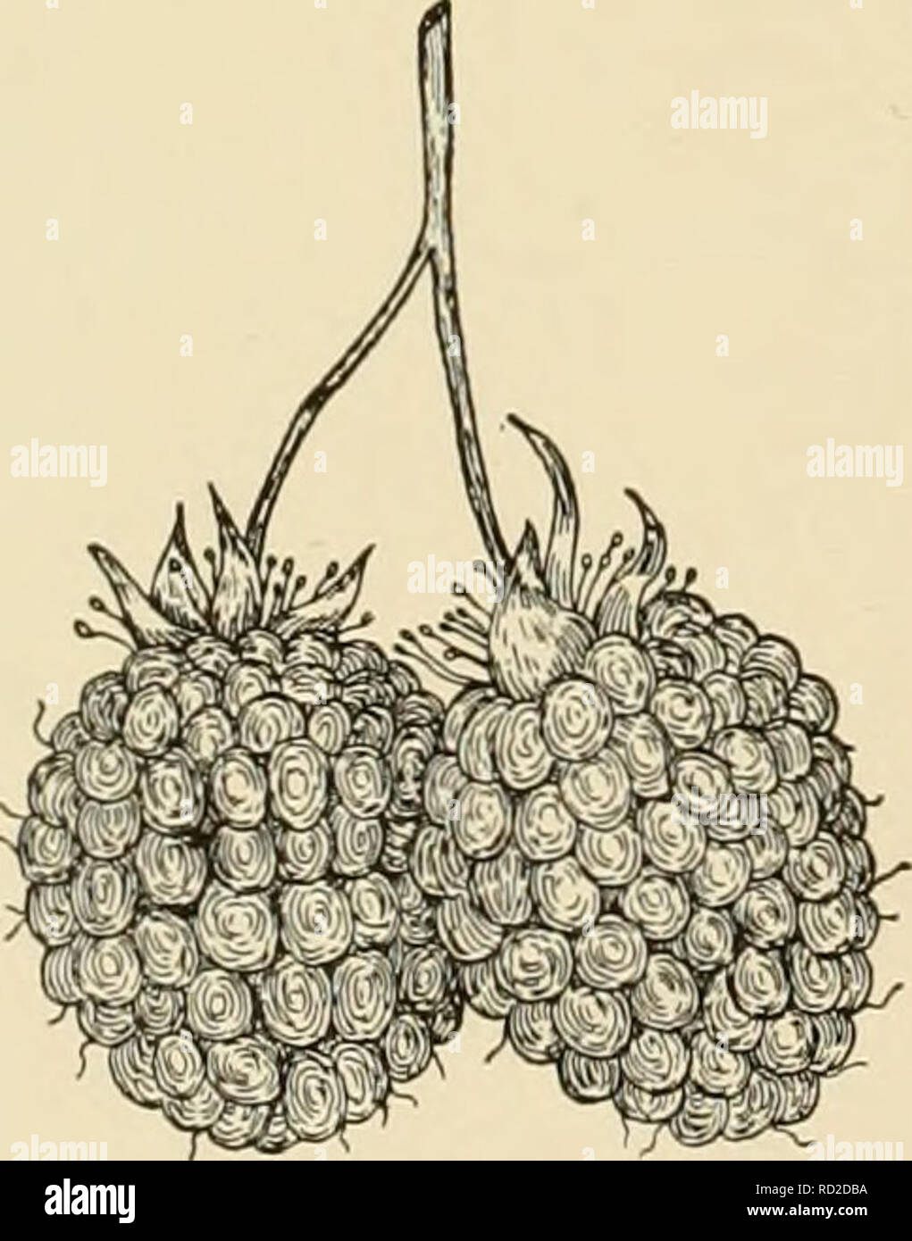 . Cyclopedia of hardy fruits. Fruit; Fruit-culture. 276 COLUMBIAN EMPIRE and Golden Cap, a seedling of an American black raspberry. It may be propagated either by suckers or tips. Plants vigorous, hardy, healthy, productive, with light-colored, upright canes having very few prickles. Leaves very dark green. Fruit of medium size, orange- pink deepening to salmon color; tiesh soft, juicy, sweet but sprightly; quality excellent. COLUMBIAN. R. strigosiis X R- occiden- talis. Columbian is the most prized of the purple raspberries. It takes leading place by virtue of the large size, firm fJesh, hand - Stock Image